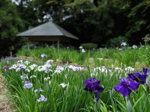 これからが見頃!卯辰山の花菖蒲園で一面に咲き誇る紫陽花と花菖蒲を見よう